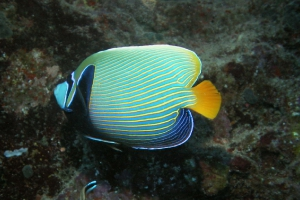 Imperator-Kaiserfisch (Pomacanthus imperator)