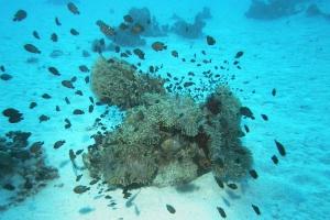 Kaiserfische (Pomacanthidae)