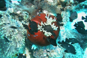 Preußenfische (Dascyllus)