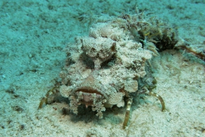 Filament-Teufelsfisch (Inimicus filamentosus)