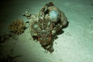 Skorpionfische (Scorpaenidae)