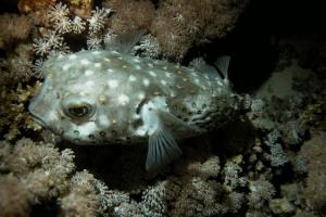 Stachelschweinfisch (Diodon hystrix)