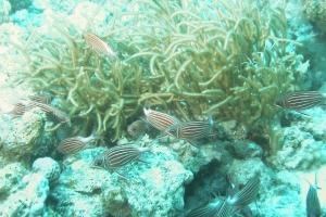 Diadem-Soldatenfisch (Sargocentron diadema)