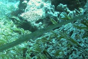 Glatter Flötenfisch (Fistularia commersonii)