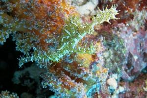 Geisterpfeifenfische (Solenostomus)