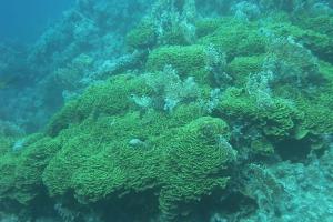 Steinkorallen (Scleractinia)